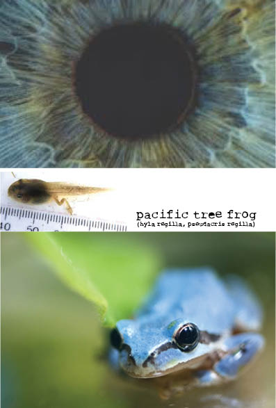 pacific tree frog (poster)
